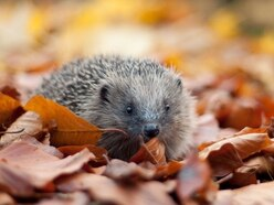 LETTER: Check your bonfire for hedgehogs