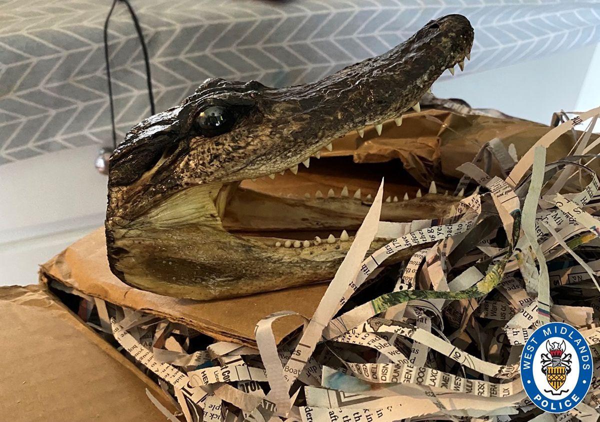 Alligator head – awaiting feedback?