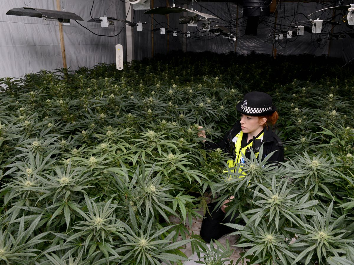 Police showcase one of the cannabis factories discovered in the West Midlands