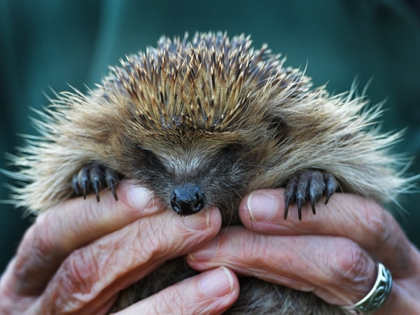 Meet the volunteer giving our native hedgehogs a helping hand
