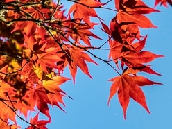 Experts issue red warning over maple tree species at risk of extinction