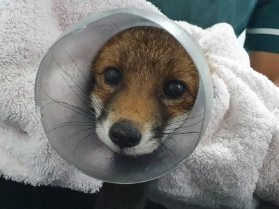 Fox rescued after getting head stuck in sweet jar