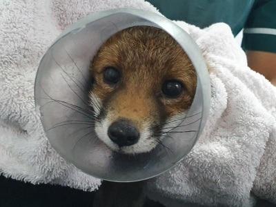 Fox rescued after getting head stuck in sweet jar