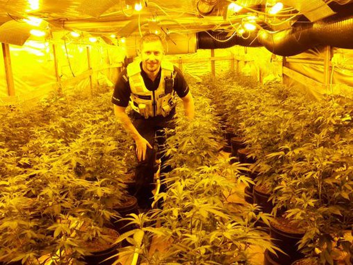 The cannabis farm found behind a fake toilet