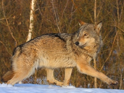 Children warned to stay indoors as wolf escapes from sanctuary