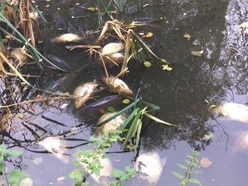 Fish killed by pollution at pool near Cannock