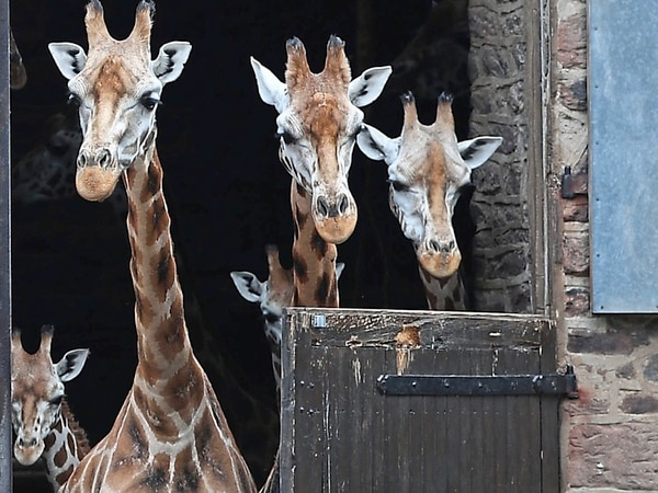 Stand up tall, we've got visitors! Chester Zoo residents welcome visitors as attraction reopens