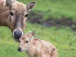 Père David deer calves born at West Midland Safari Park