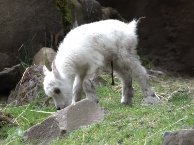 Watch a baby mountain goat take its first steps in this adorable video