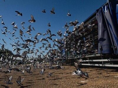 Return of pigeon racing 'like putting oxygen' back into communities