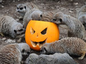 The meekats at Dudley Zoo and Castle get into the spirit of Halloween and a taste for a pumpkin