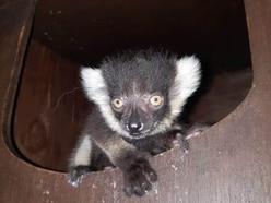 Joy as critically endangered baby lemur born at Dudley Zoo