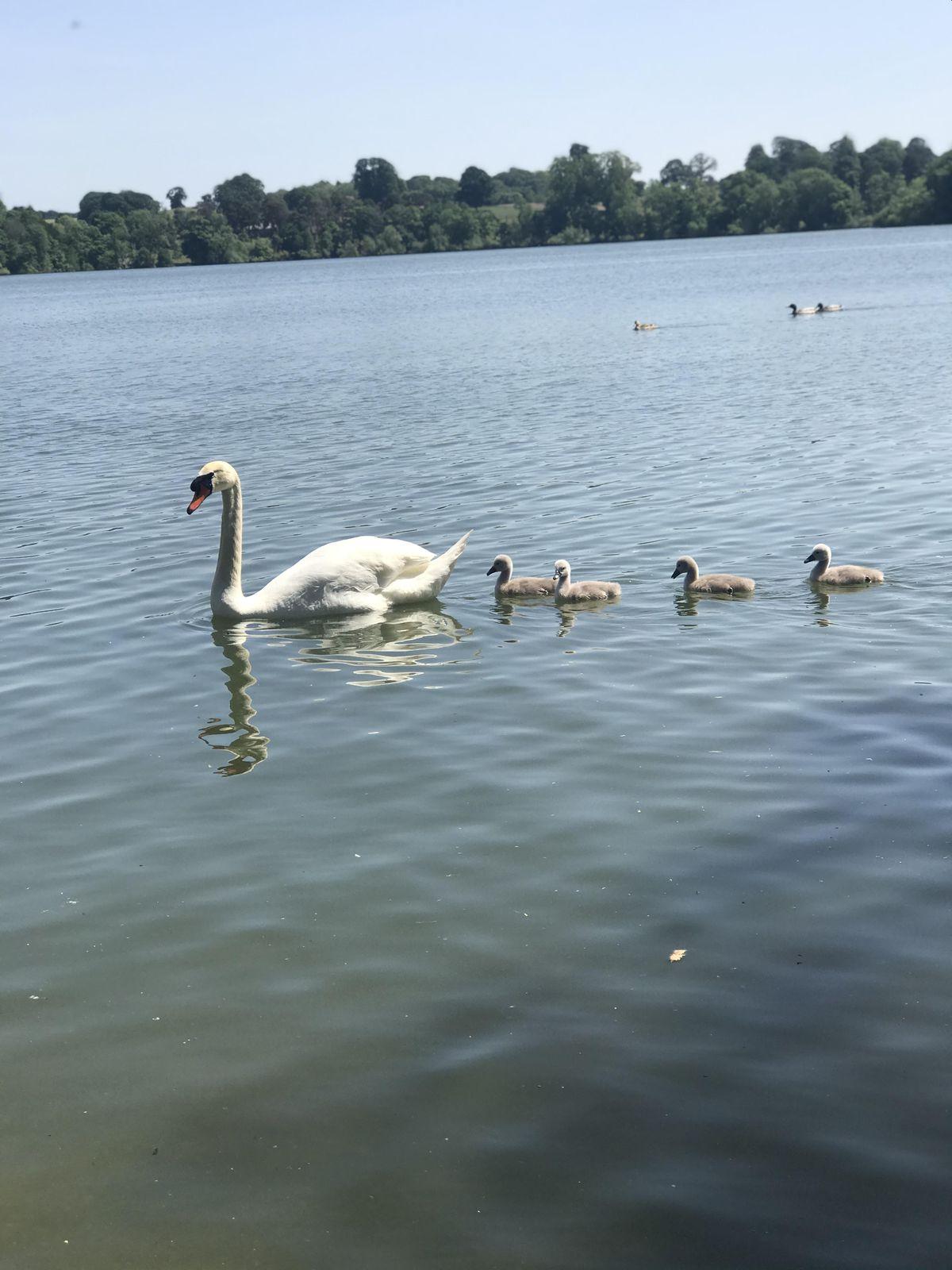 These baby swans were captured at Ellesmere Lake by Ellie Parker durng her visit