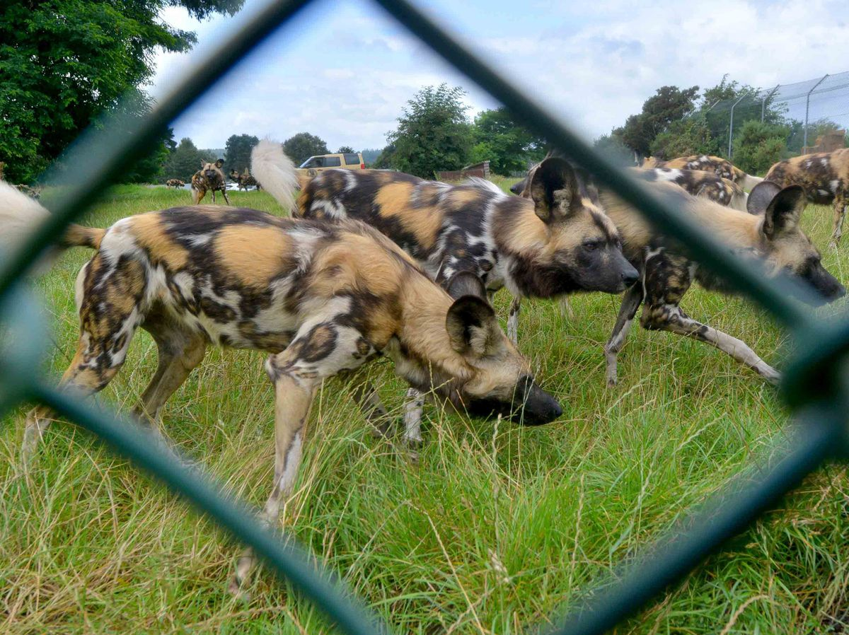 Six deer and 10 sheep were killed by the African Wild Dogs