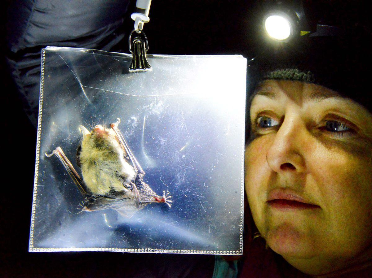 Bats for lashes – Morgan weighing a Natterer's bat