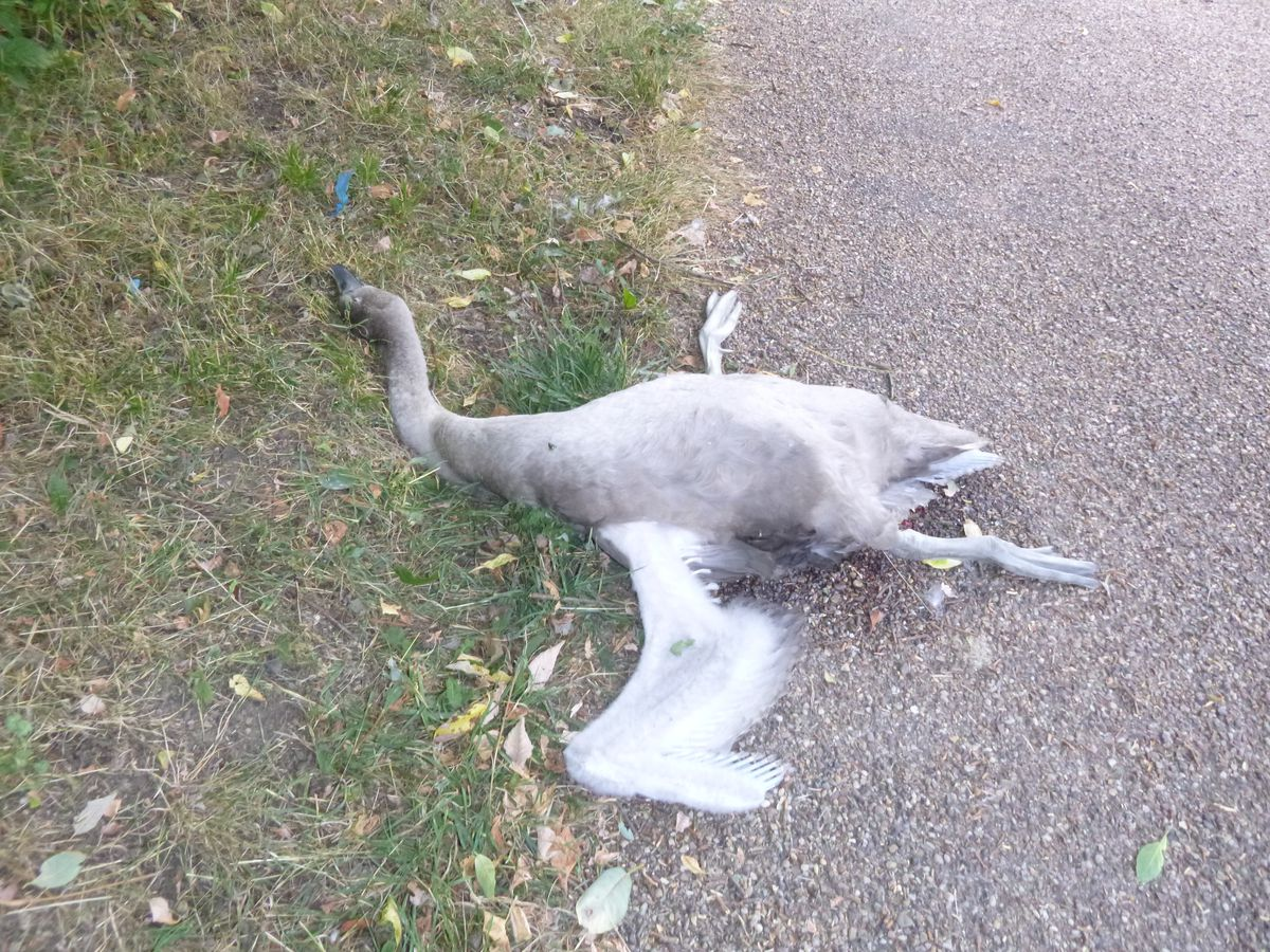 The cygnet was attacked in Coseley and sadly died shortly after