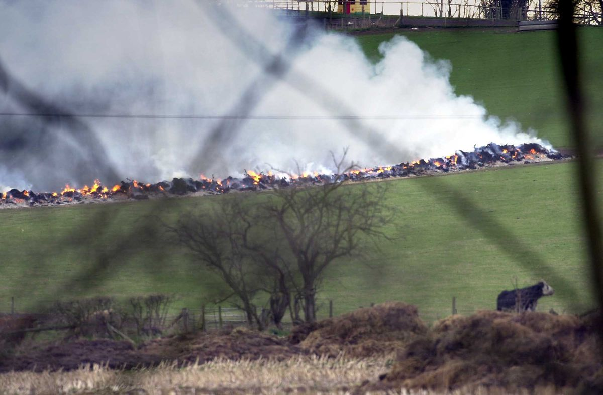 Cattle stood in nearby fields as infected livestock carcases were burned at Rowley's Farm near Worfield