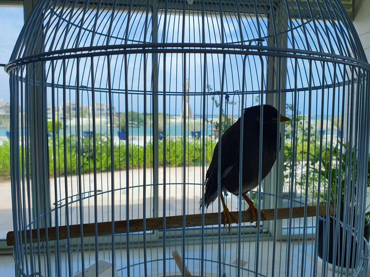 Juji the myna bird in his cage