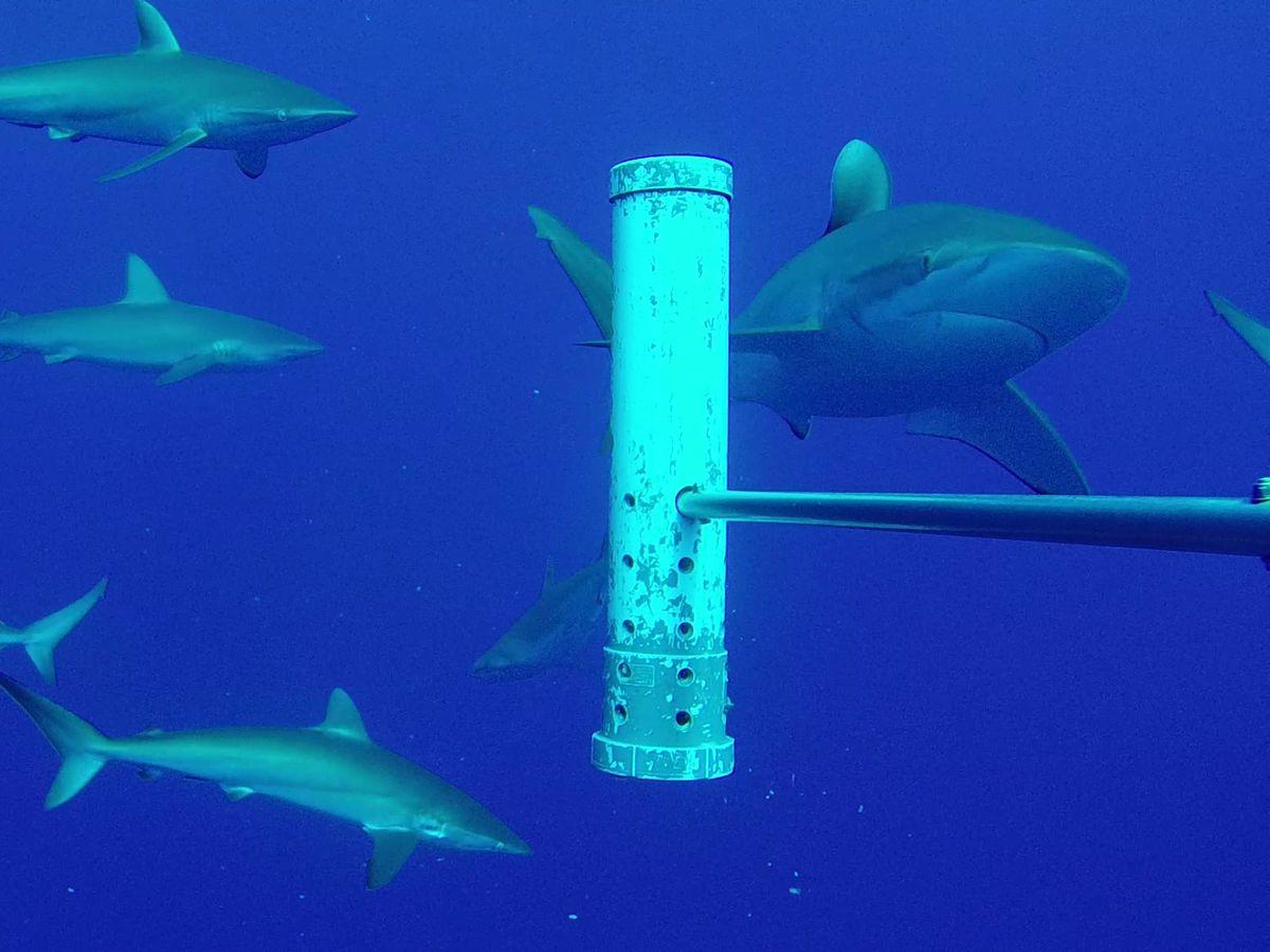 Silky sharks around Ascension Island (Marine Futures Lab, University of Western Australia/PA)
