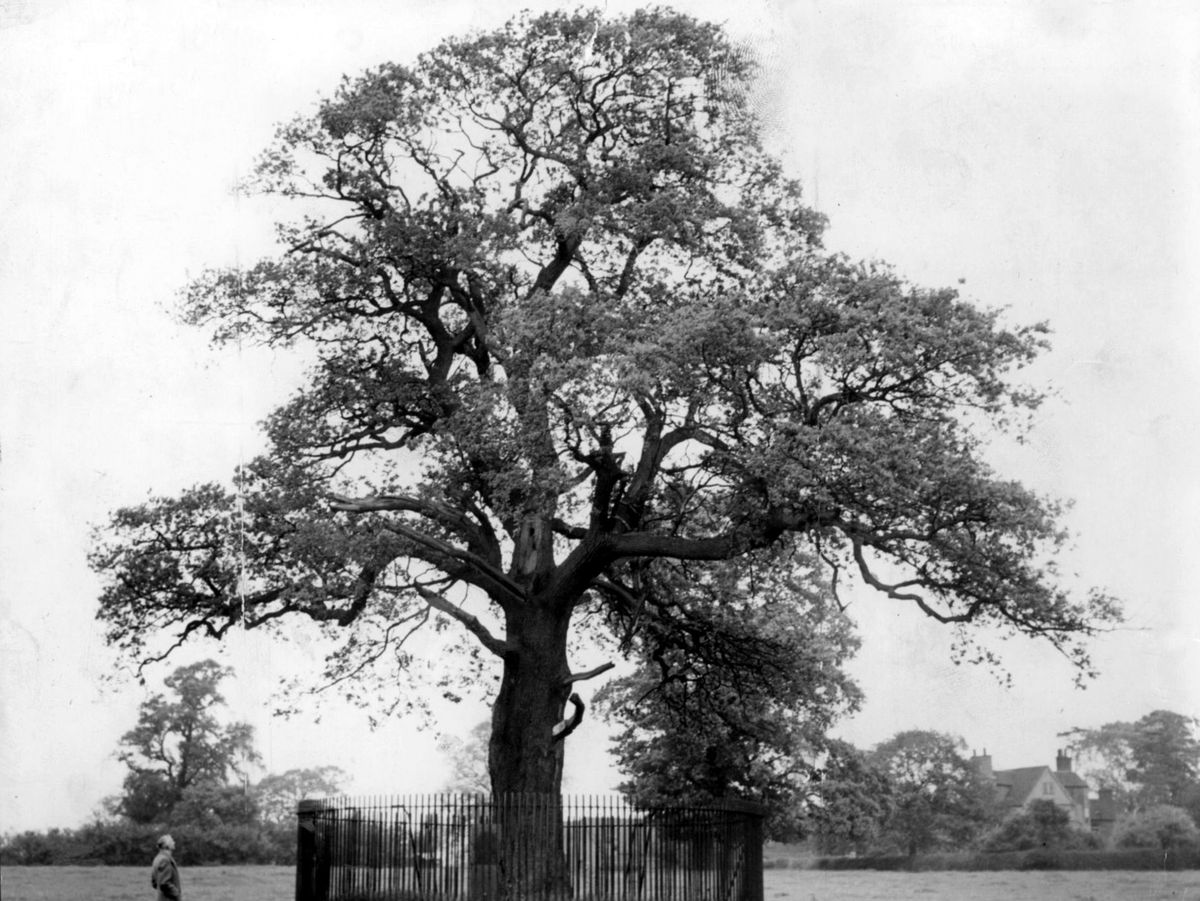 The famous Royal Oak tree at Boscobel – actually a descendant of the original – was severely damaged in a gale in October 2000