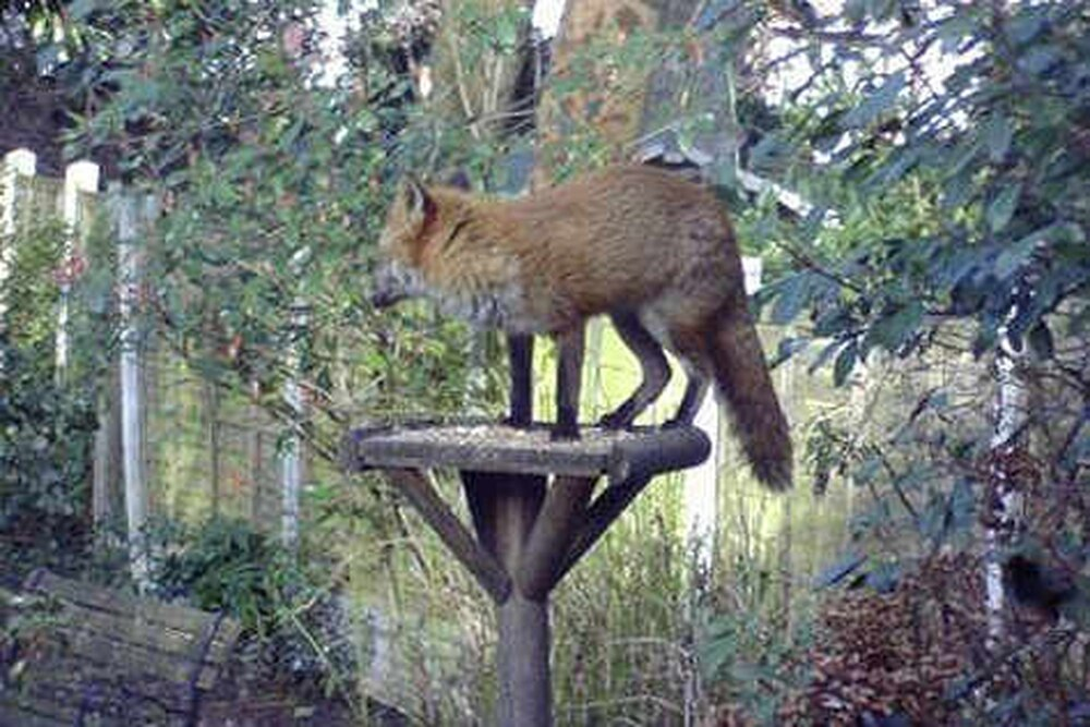 Now meet the real Fantastic Mr Fox   Express & Star