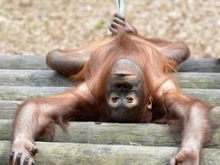 Dudley Zoo's £800,000 orangutan fundraising appeal hits halfway point