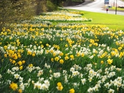 Daffodil patch adding colours of joy to Wall Heath