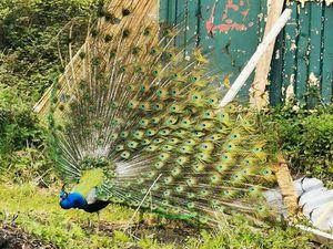 One of Karen's peacocks