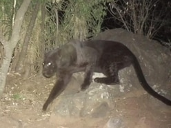 Watch rare footage of a black panther spotted in Kenya
