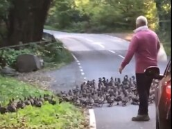 Watch: Drivers go quackers over unusual road hold-up