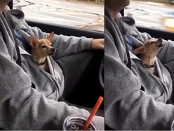 There might be nothing more pure than this chihuahua wrapped in a hoodie singing along to U2