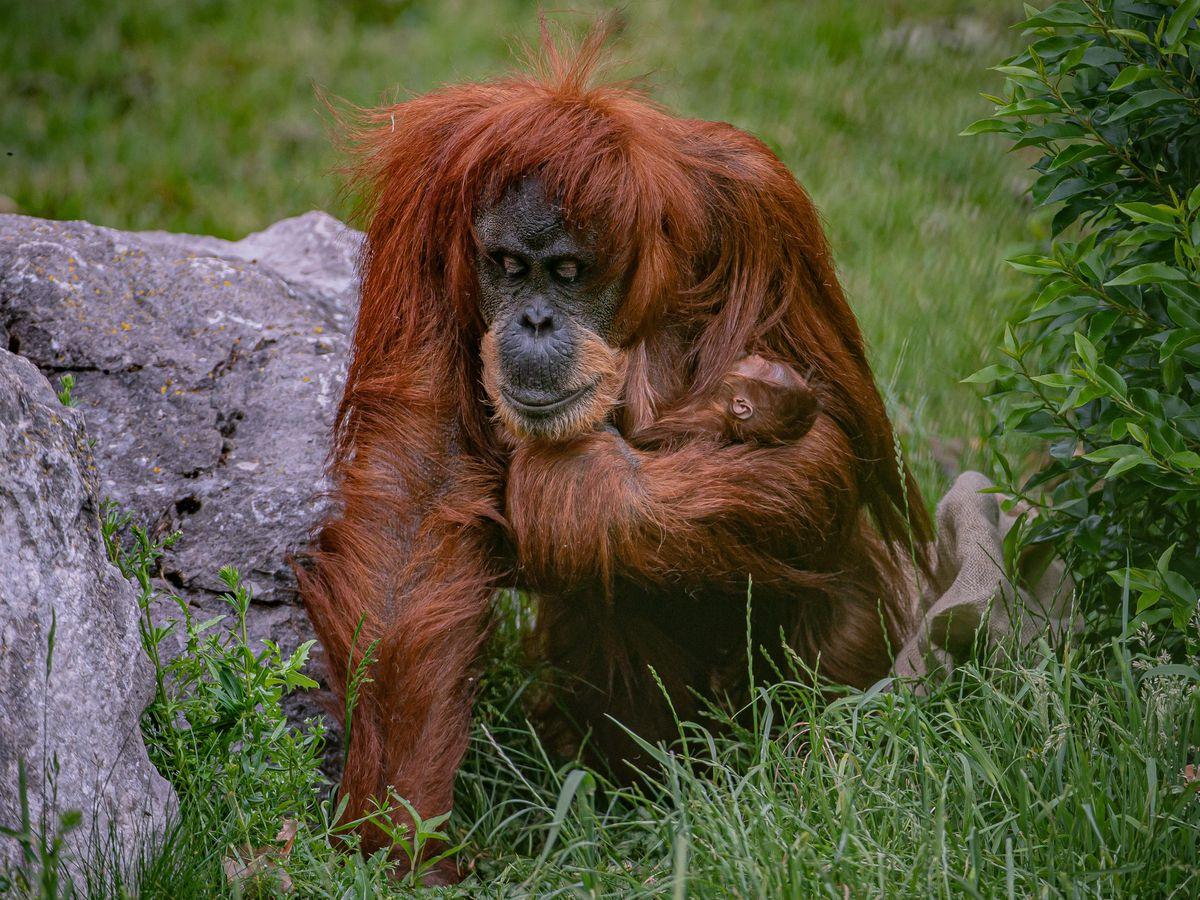 Sumatran orangutan mum and baby