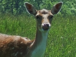 A stag do? Herd of deer closes M54