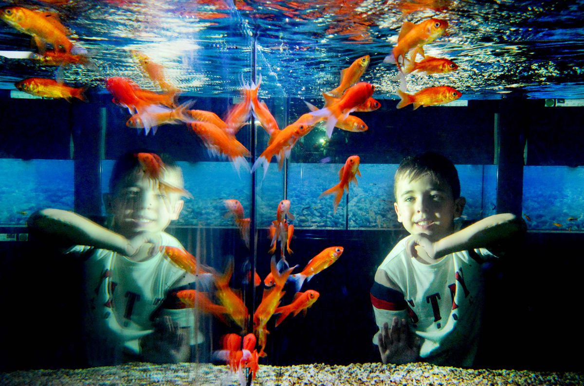 Harley Dixon, aged five, looks at the goldfish.