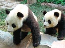 Panda on loan from China dies in Thai zoo