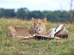 Lion cubs at West Midland Safari Park celebrate first birthday