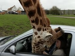 WATCH: Car window shatters over giraffe's head at West Midland Safari Park
