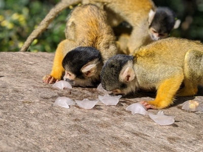 Squirrel monkeys enjoy ice lollies at London Zoo ahead of ITV documentary