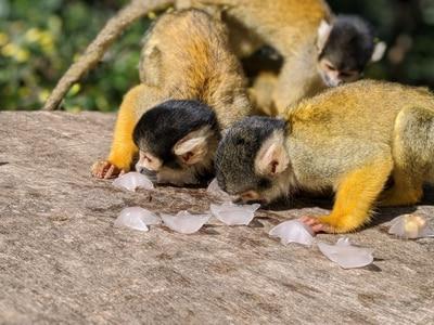 Squirrel monkeys enjoy ice lollies at London Zoo ahead of ITV documentary