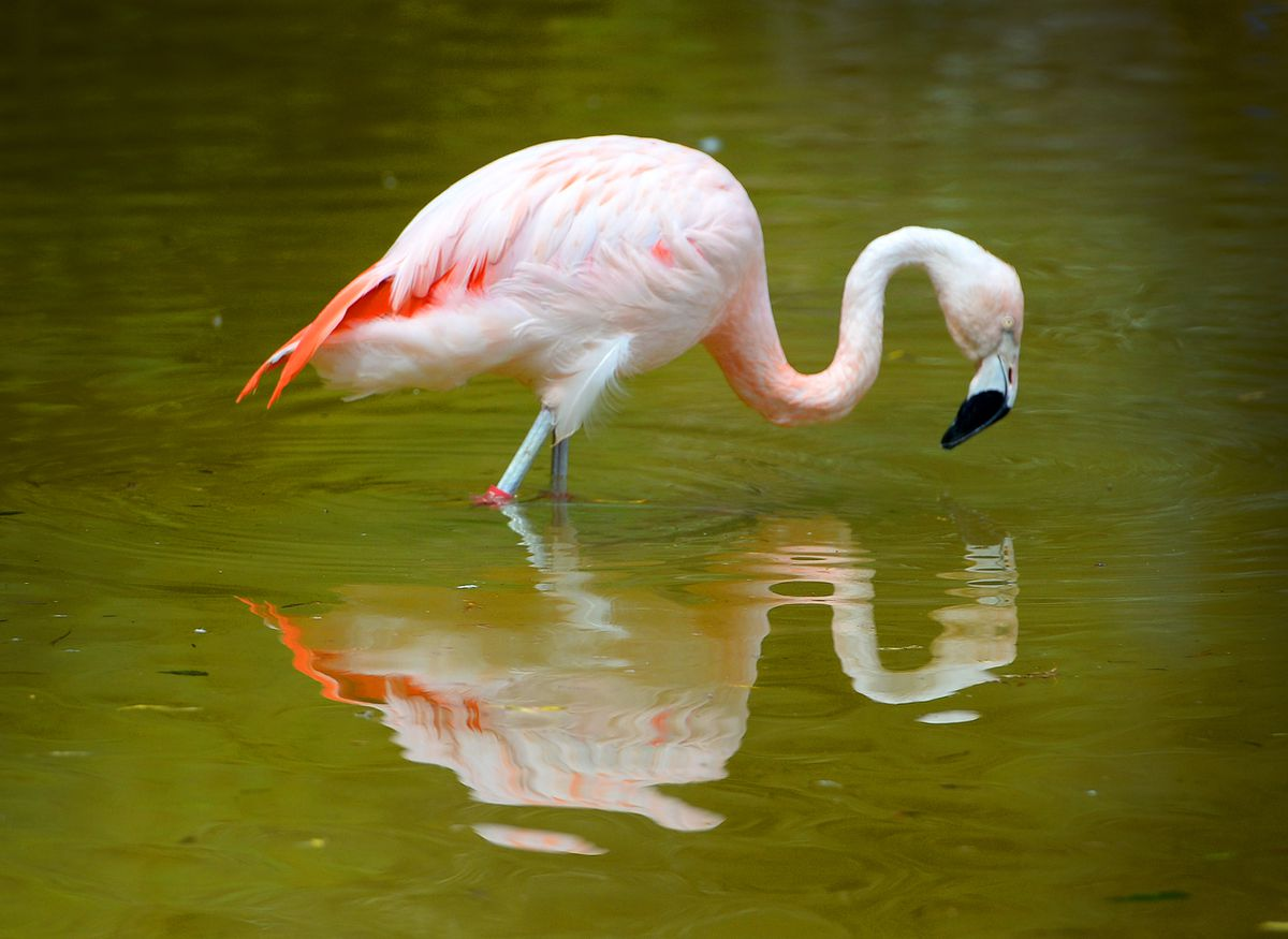 A flamingo pauses for reflection at a near-empty Dudley Zoo