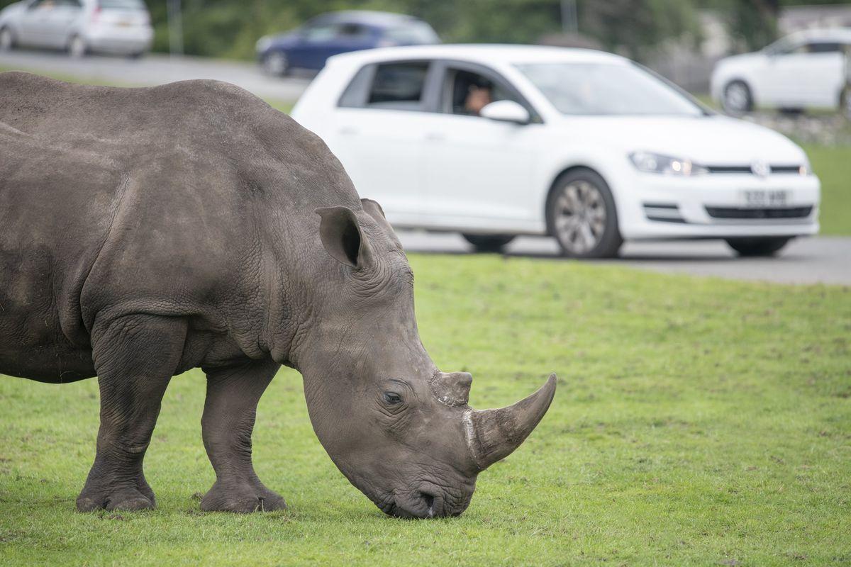 Ekozu before leaving West Midland Safari Park