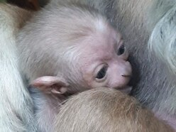 Dudley Zoo welcomes new arrivals on primates section