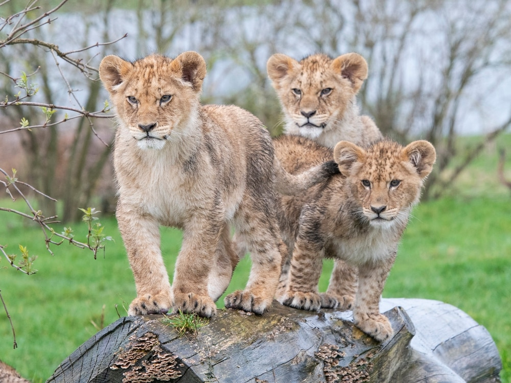 Roar-some safari day for cubs