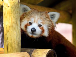 Mei Lin, the Red Panda in the new exhibit at West Midlands Safari Park..