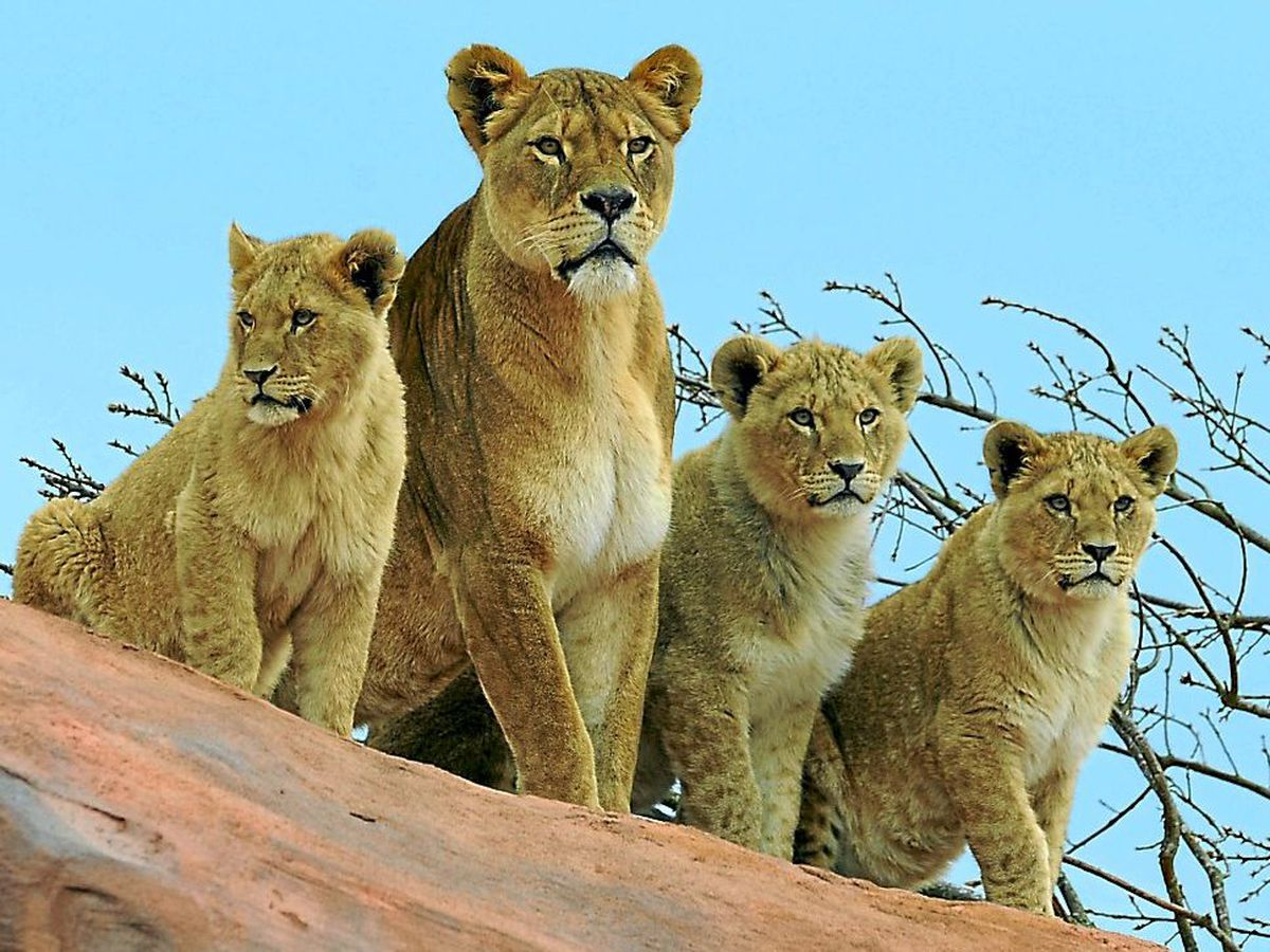 African lion Kayli sits on a rock with her cubs Ambush, Ailiyah and Frankel, back in 2013