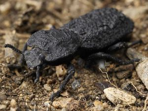 The diabolical ironclad beetle
