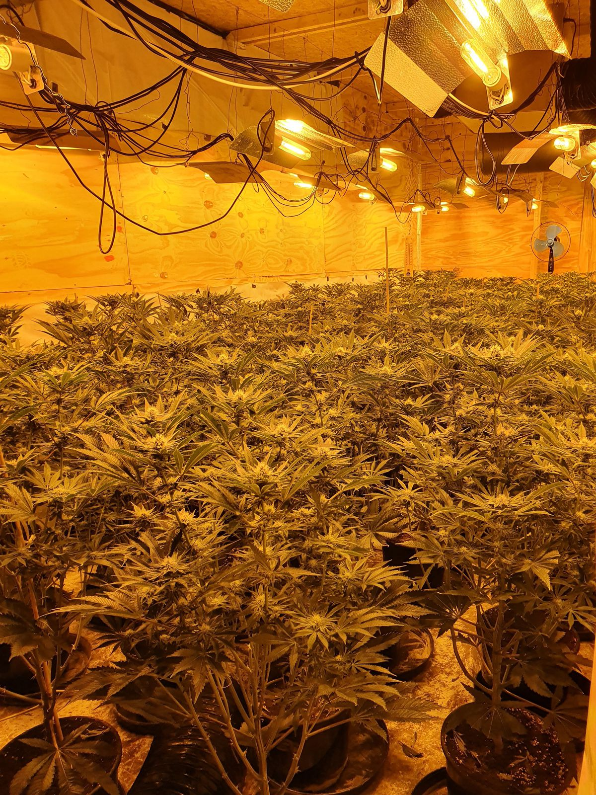 Police found approximately 600 plants inside the industrial unit (Image: @BrierleyHillWMP)