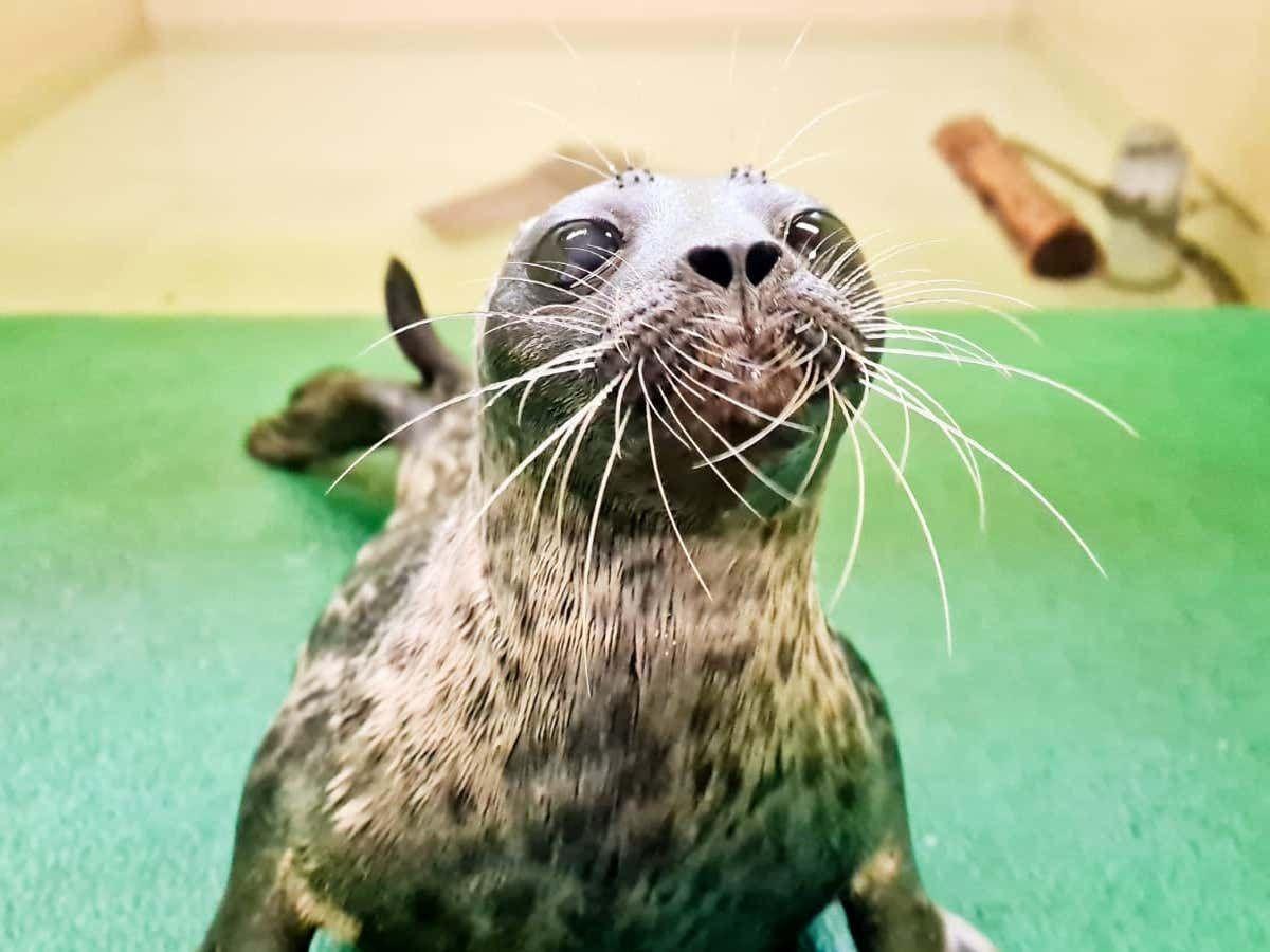 Hispi the seal