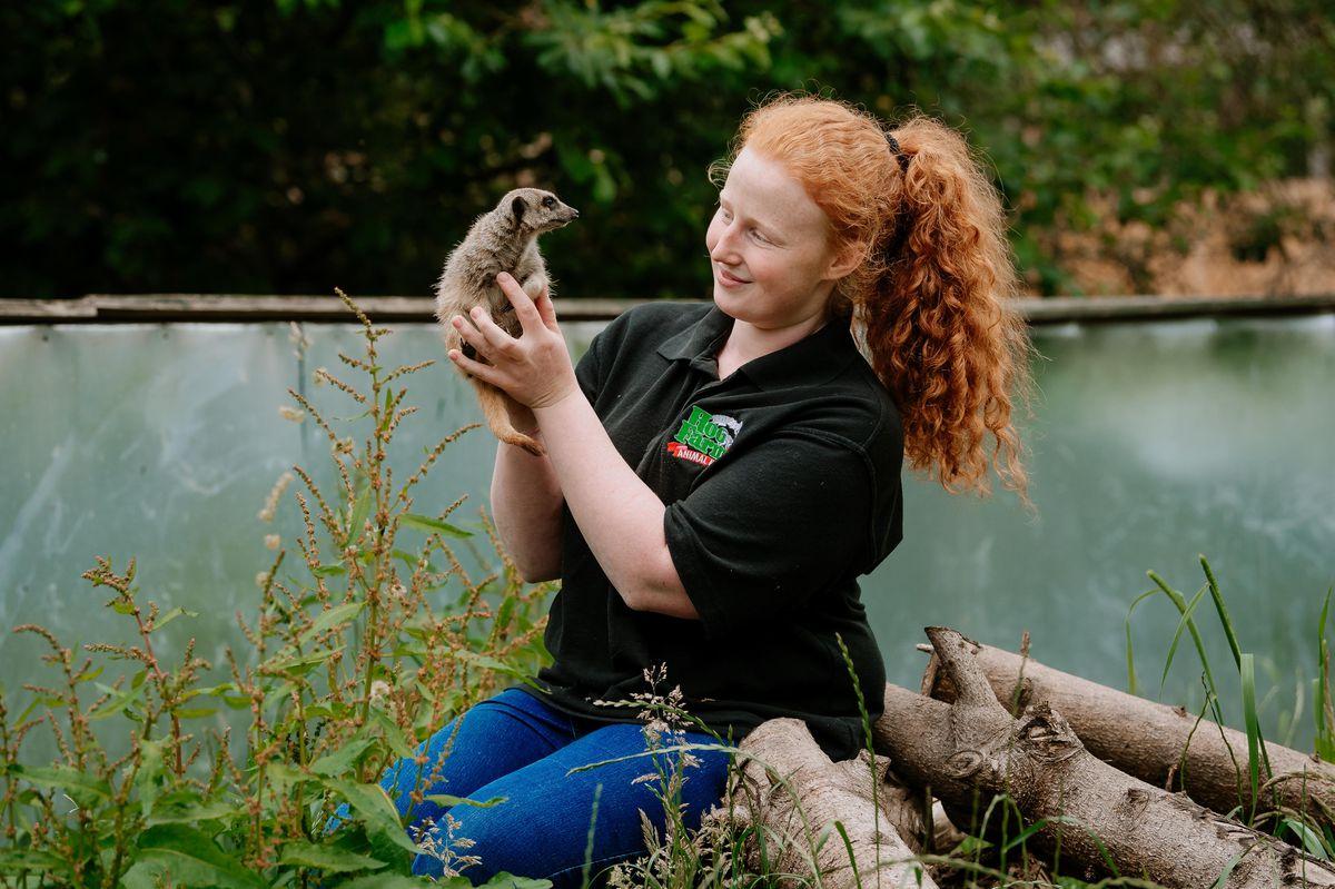 Zookeeper Alison Bridgwater with Kovu the meerkat at Hoo Farm