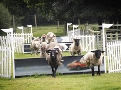 Cancelled: Hoo Farm sheep races scrapped after animal rights campaign